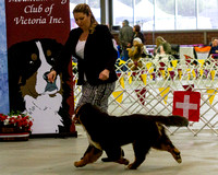 Bernese Mountain Dog Club of Vic - June 2016